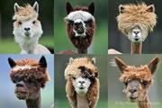 Alpakas nach dem Friseurbesuch