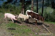 Schwein Rosalie, Schaf Flora und Kalb Resi