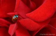 Marienkäfer auf einer Rose