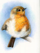 """""""Young Robin"""", colored pencil, 2016, (reference photo by Russ Bridges)"""