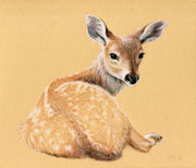 """""""Fawn"""", colored pencil, 2017 (reference photo by Lenora Melville)"""