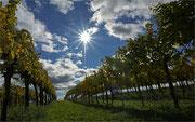 Weingärten sind auch nach der Ernte ein lohnendes Motiv
