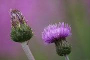 Wiesenblumen im Hohen Norden