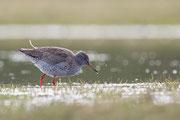 Tureluur, Common Redshank