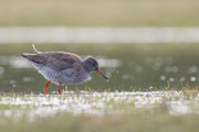 Tureluur, Common Redshank