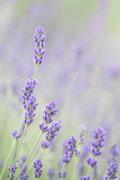 Lavendel ©Nadine Bachler Photography