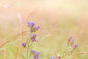 Gemeine Ochsenzunge ©Nadine Bachler Photography