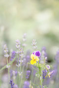 Veilchen ©Nadine Bachler Photography