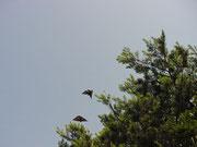 オオムラサキ  2001.07.02 栃木県