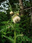 ジョウシュウオニアザミ(白花) 2008.7.6