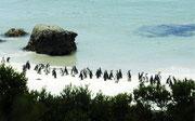 """In die """"Boulders""""-Kolonie kehren die Pinguine immer wieder zurück."""