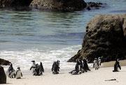 Die Pinguine lassen sich von ihren Besuchern nicht stören.