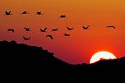 Grullas en Montmesa (Grus grus). © Carlos A. Pardo