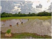 Cultivando arroz en un inmenso arrozal, interior de Camboya. © Daniel Roca García.