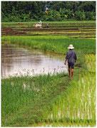 Arrozal en la isla Koh Trong, en el Río Mekong. © Daniel Roca García.