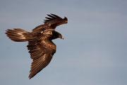 Quebrantahuesos, (Gypaetus barbatus). © Juan Carlos Ascaso.