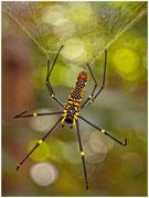Araña inofensiva, común en la selva camboyana. © Daniel Roca García.