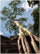 Inmensos árboles echan sus raíces entre las ruinas de los templos de Angkor. © Daniel Roca García.