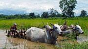 El arado con bueyes está presente en toda la geografía Birmana. © Daniel Roca García.