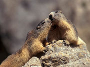 Marmota, (Marmota marmota). © Javier Ara Cajal.