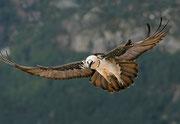Quebrantahuesos, (Gypaetus barbatus). © Javier Ara Cajal.