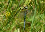 Männchen - Albtrauf, Juni 2014