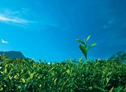 teeplantage darjeeling