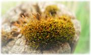 Die Pflöcke dienen als Lebensraum für manche Moos- und Flechtenarten, ...