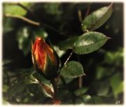 Die Rosenknospe