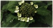 Die offenen & geschlossenen Blüten des Gewöhlichen Schneeballs