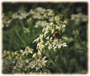 Der Wiesen-Kerbel & die Schwebfliege