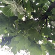 Feigen! Wir haben tatsächlich einen Feigenbaum im Garten