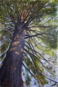 Sequoia, hst 146*97 cm, disponible