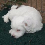 Femelle N°1 noir & blanc - 6 Semaines