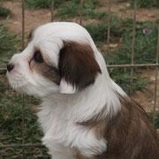Femelle N°3 fauve & blanc - 6 Semaines