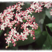 der schwarze Holunder blüht... rosa! Wunderwunderschön.