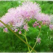 eine absolute Lieblingsblume: die zarte Wiesenraute. Ähnelt ein wenig einer pflanzlichen Koralle, vor allem im Wind oder wenn sich eine Biene daran labt.
