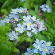 Vergissmeinnicht gehören in jeden Garten, meint Frau Farn und denkt dabei immer an ihre verstorbene Oma.