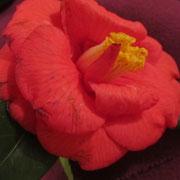 Une fleur du salon…