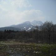 妙高山といもり池の水芭蕉です。