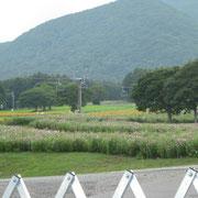 コスモス園のコスモスの畑です。