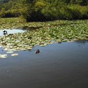 いもり池には鴨と、大きな鯉が共存しています。