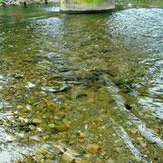 桑取川にはサケが遡上します。