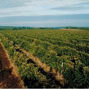 Les vignes des Pineau des Charentes Pautier à Veillard (BOURG-CHARENTE)