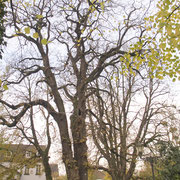 Baumkrone im Winteraspekt, Foto Heinz Kuhlen, Aufnahme-Datum: 02. 11. 2008