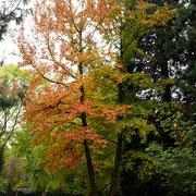 Zweistämmiger Baum in Herbstfärbung, Foto HK., Aufnahme-Datum: 17.10.2017