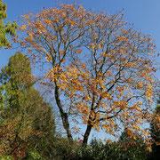 Herbstaspekt, färbendes Laub und Samenkapseln