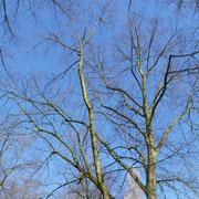 Kronenblick in einen Einzelbaum mit der typischen, feinen Endverzweigung, Foto H.Kuhlen, Aufnahmedatum 12.04.2016