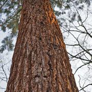 Stammabschnitt, die rote Borke und auch das rötliche Holz ist namensgebend für Redwood, Kalifornisches Rotholz