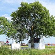 Astbruch nach Sturm ELA am 10.06.2014, danach Fällung der Linde, Foto R.Bongard, Aufnahmedatum 12.06.2014